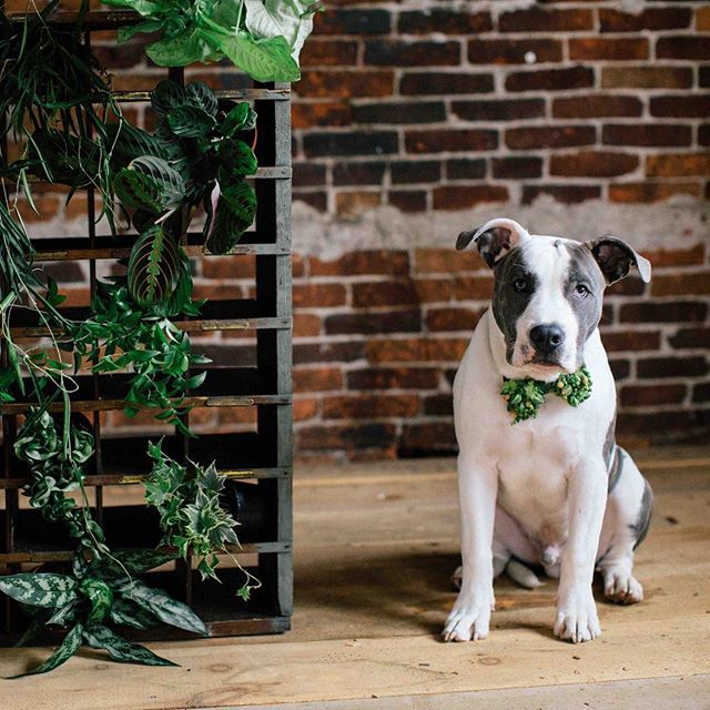 {handsome•ness}  photo | @kate_preftakes • • •{justice wearing a @francoiseweeks inspired bow tie?} • #thisboy #pitbullsofinstagram #bulliesofinstagram #lover #handsome #pitbull #ringbearer #bowtie #thatsdarling #nhmagazinebride #lotusfloraldesigns #eventsbysorrell
