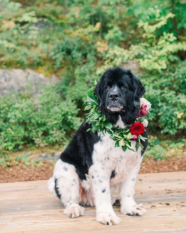 {oh my handsomeness} photo | @jennidarling . . #dogsofinstagram #newfoundland #doggie #goodboy #handsome #bestbeast #floralcollar #dogbling #mansbestfriend #lotusfloraldesigns #weddingflorist #love