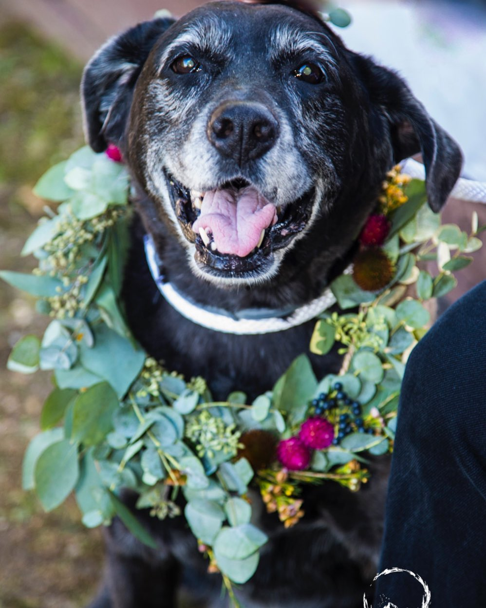 {honestly❤️🐶😍} photo | @throughthepinesphotography  coordination | @showcase_nh . . #furbaby #dogbling #dogsmiles #flowercollar #dogflowers #happydog #weddingday #love #lotusfloraldesigns